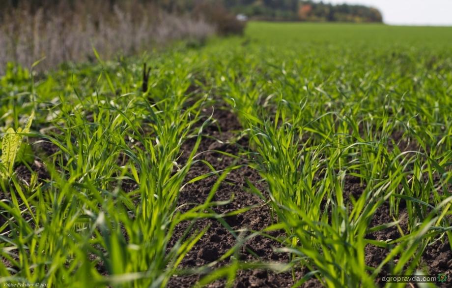 Как помочь пшенице раскуститься