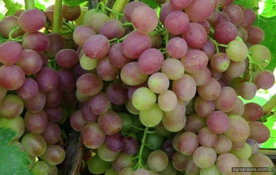 Виноград Ливия: особенности культуры и уход