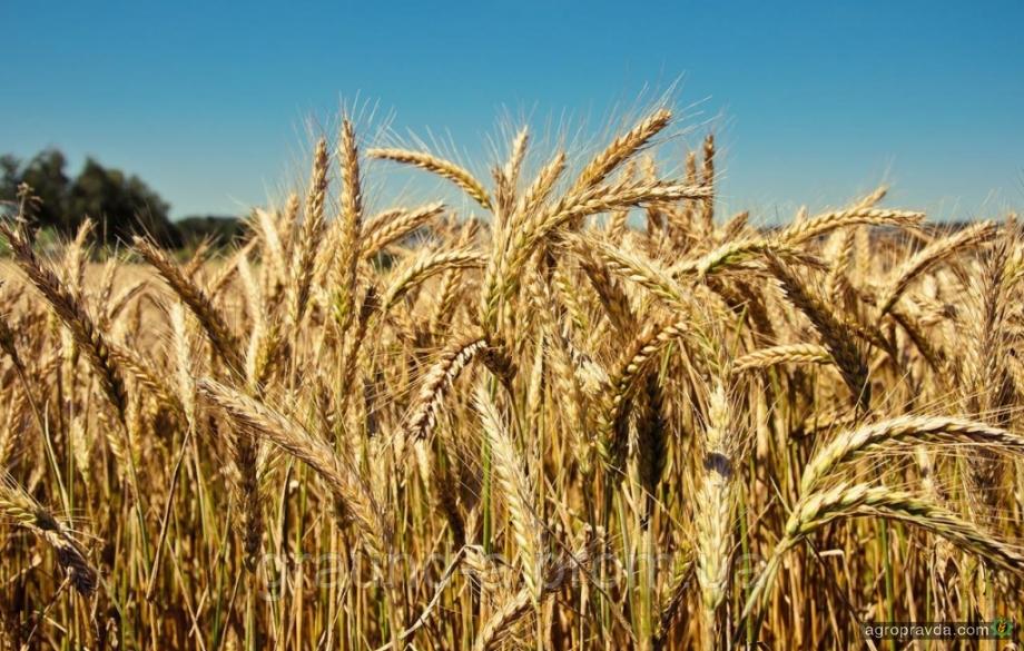 Как выращивают озимые культуры: опыт агрокомпании «Золотые пруды»