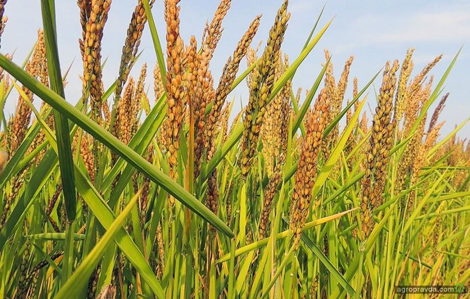 В Украине зарегистрирован новый гербицид для риса