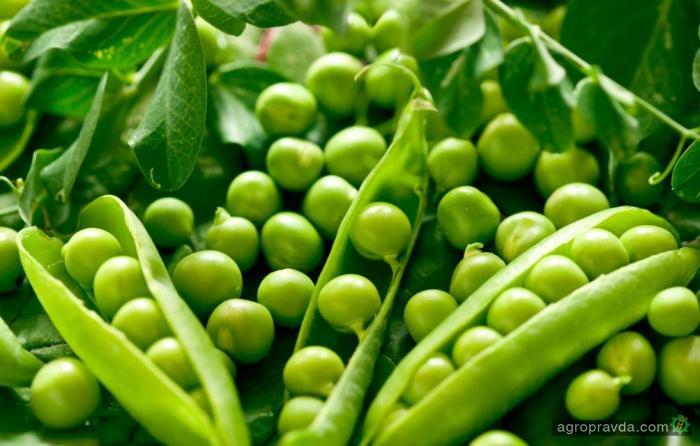Украина наращивает экспорт гороха