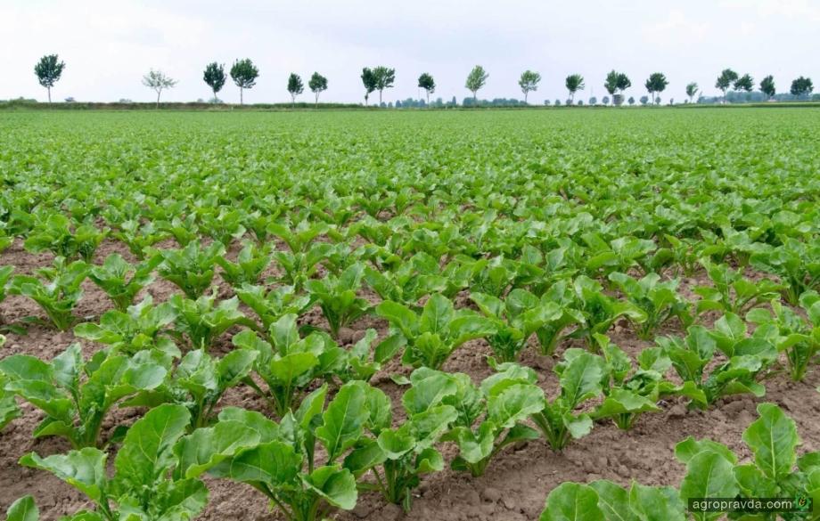 Сесвандерхаве-Украине будет экспортировать семена сахарной свеклы