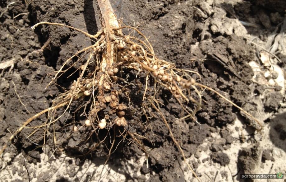 5 условий эффективной инокуляции семян сои