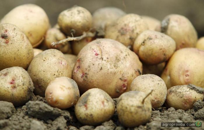 Украина в 3,5 раза увеличила экспорт картофеля