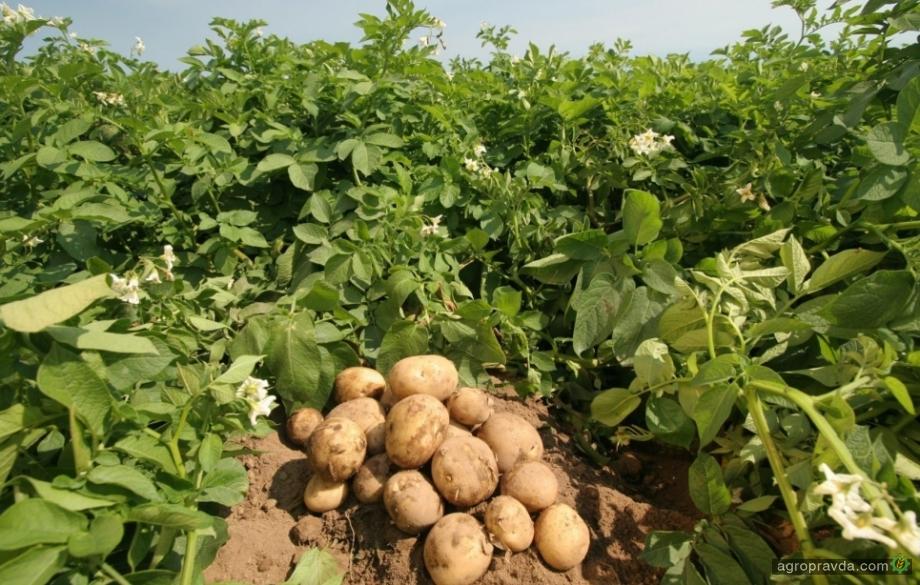 Новый биофунгицид для картофеля показал хорошие результаты