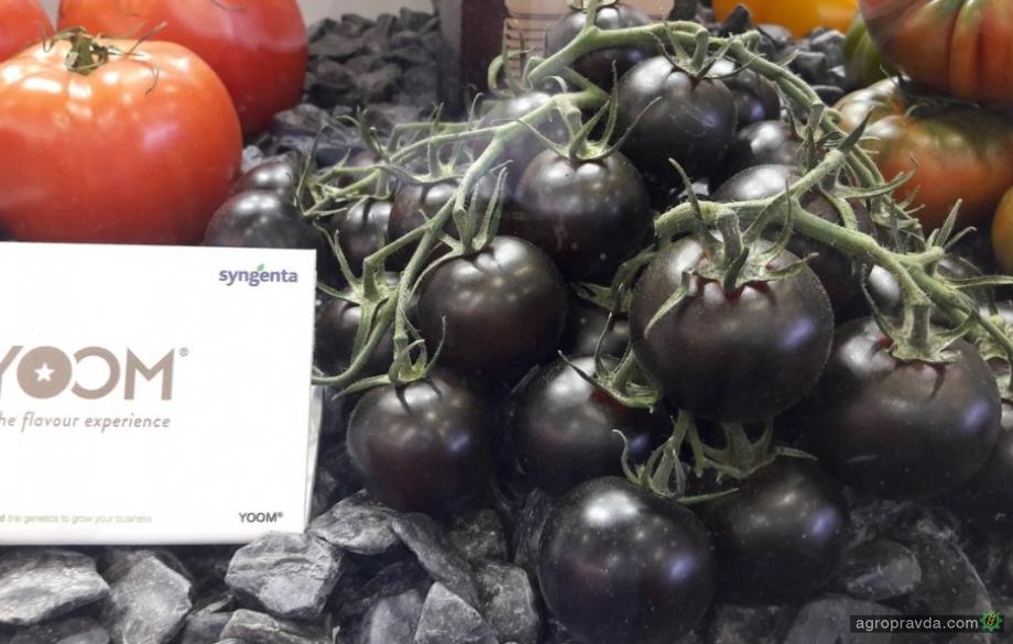 Syngenta представила новые сорта лука и томатов