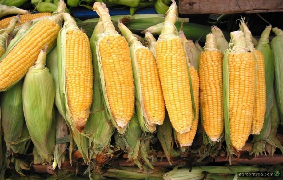 Как ограничение экспорта кукурузы из Украины повлияет на мировой рынок