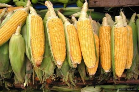 Новые гибриды кукурузы на рынке Украины. Часть 1