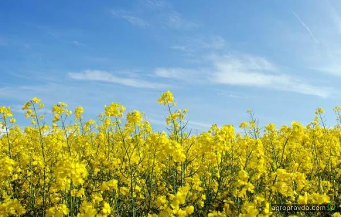 Украинские аграрии собрали 90% площадей рапса