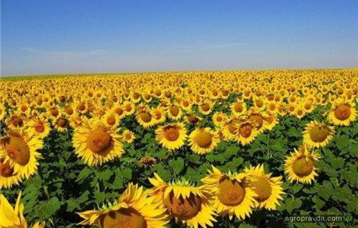 Украина снизила производство подсолнечного масла