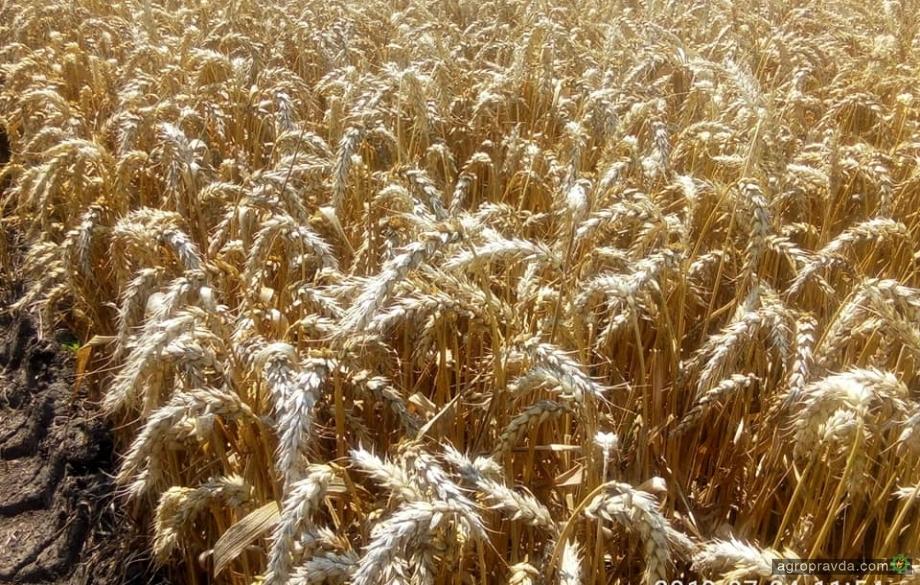 Вести с полей: интенсивная технология на озимой пшенице