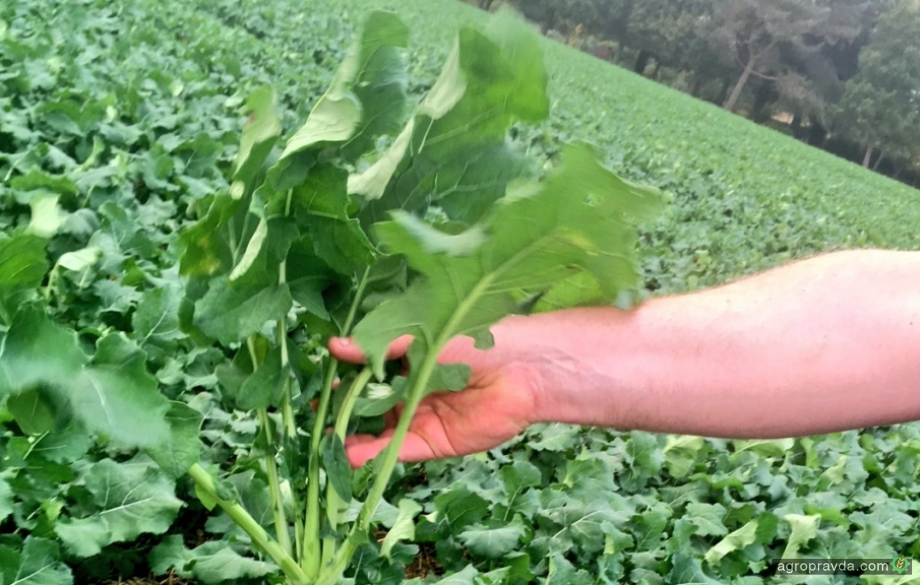 Применение органических удобрений на посевах рапса