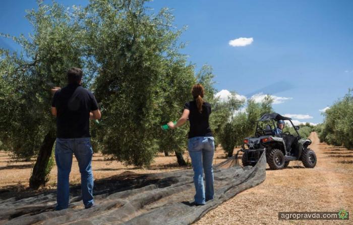 Фермеры приспособили квадроциклы для сбора маслин. Фото
