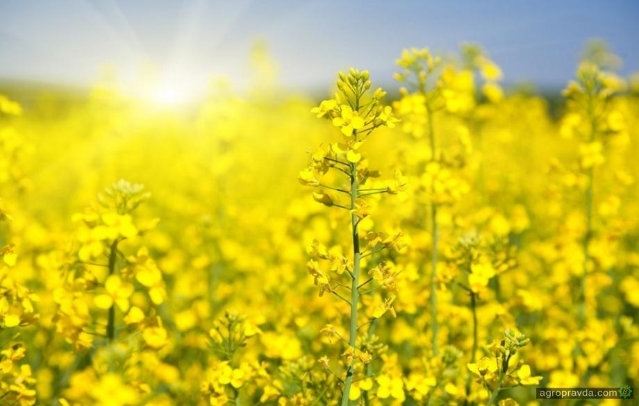 «Лимагрейн» предлагает акцию при покупке семян озимого рапса