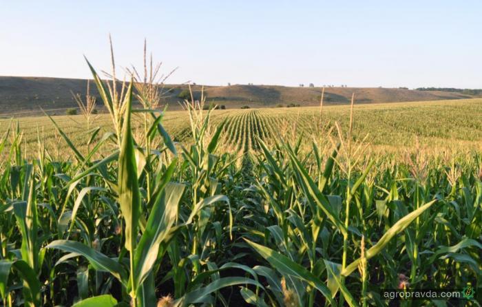 Европа нуждается в украинской кукурузе