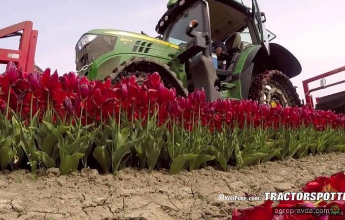 Как в Голландии тюльпаны собирают. Видео