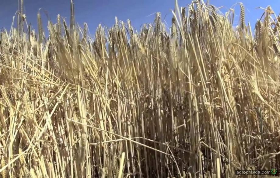 В Украине в условиях засухи собрали по 52 ц/га озимого ячменя