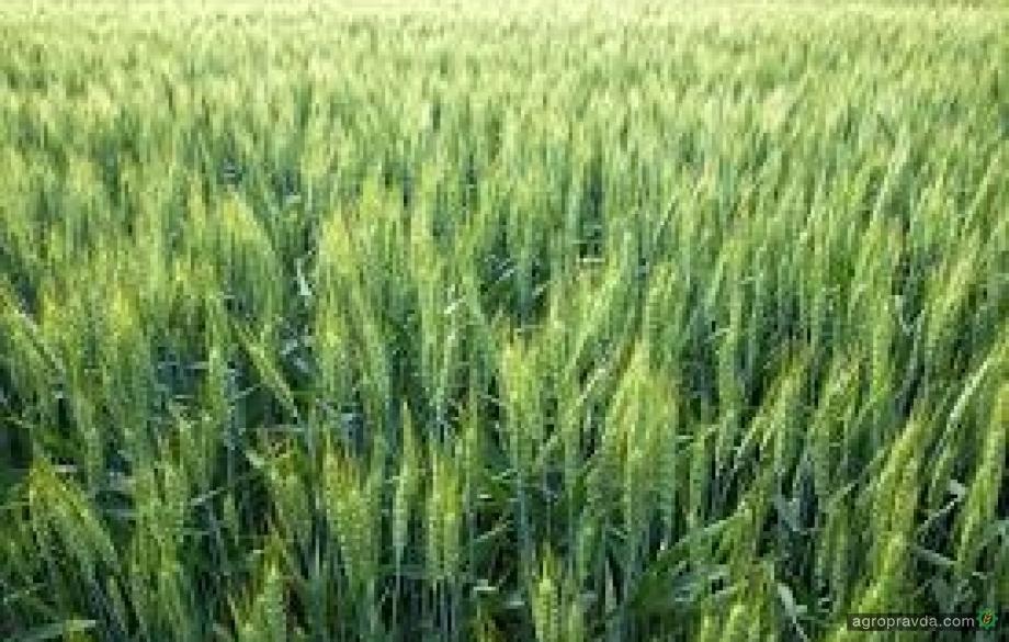 «Витагро» продемонстрировала новые сорта пшеницы из своей линейки