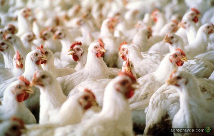 Производители птицы за 4 года получили $1,3 млрд. господдержки