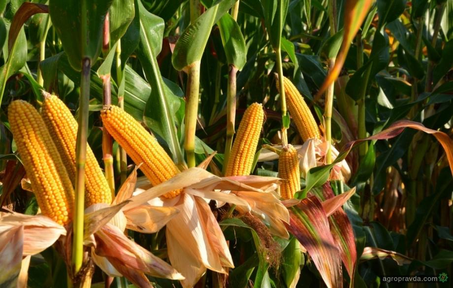 Какие новые гибриды кукурузы и сорго «Евралис» предложит в 2020 году