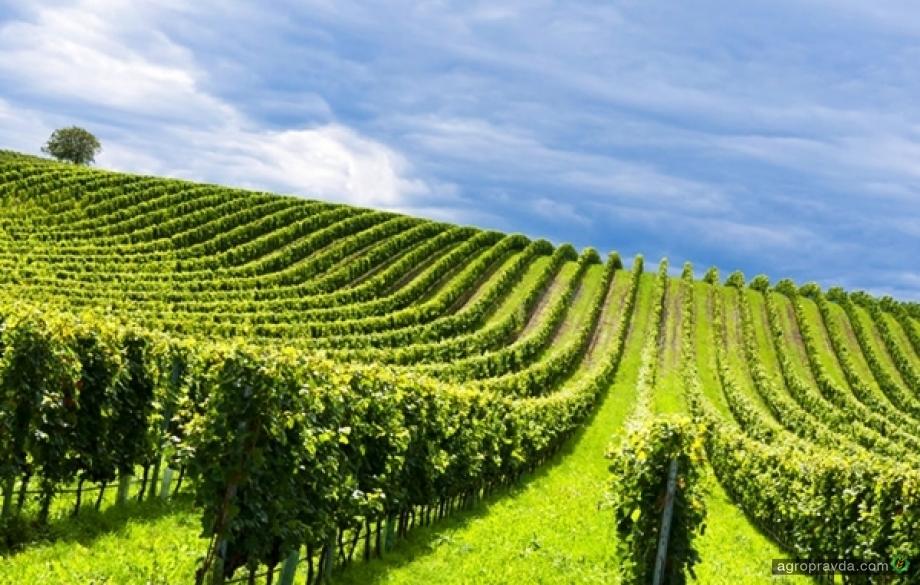 Минэкономики собирается стимулировать виноградарство