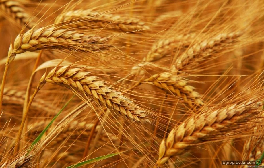 Улучшение погоды в США обвалило цены на пшеницу