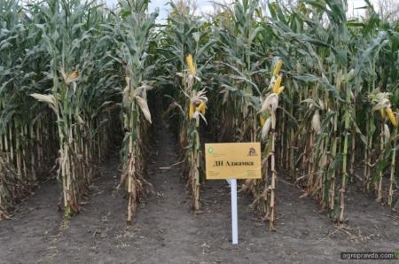 Кукуруза по стрип-тилл в степной зоне: опыт «Рост-Агро»