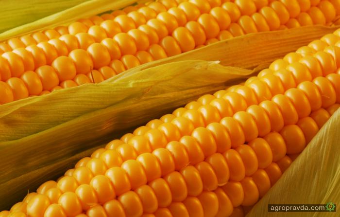 Установлен новый мировой рекорд урожайности кукурузы