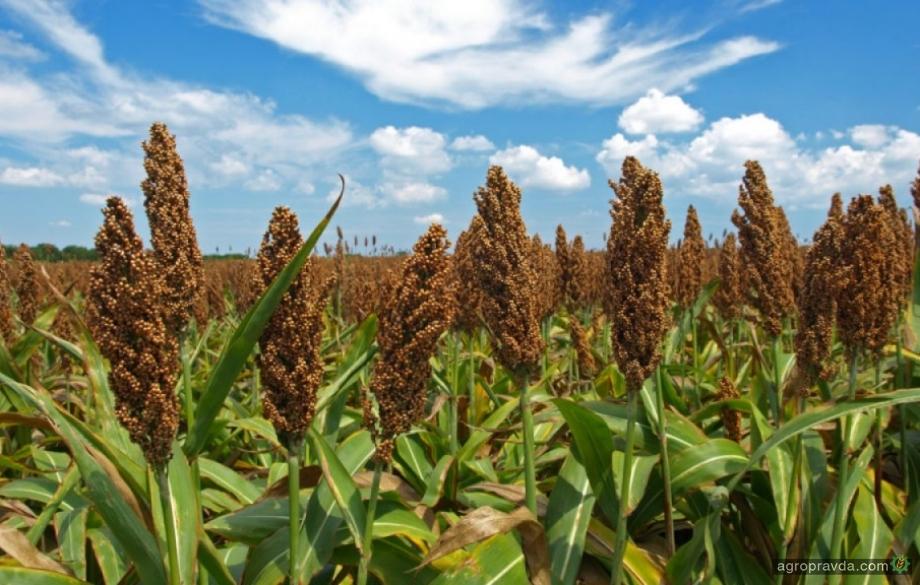 В Украине установлен мировой рекорд урожайности сорго
