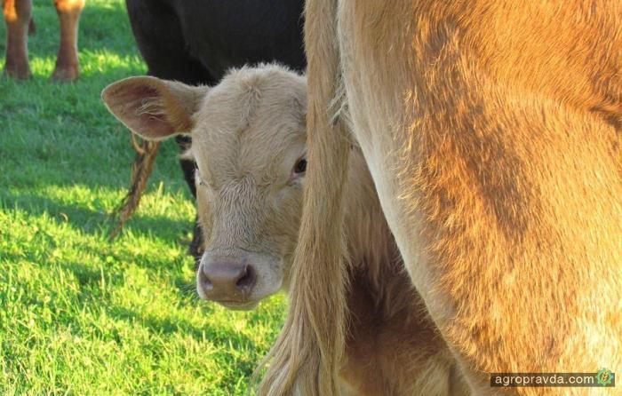 Аграрии получат почти 7 миллионов дотаций на телят