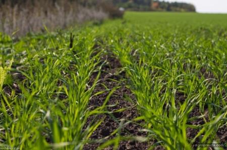 Предпосевная обработка озимой пшеницы. Часть 1