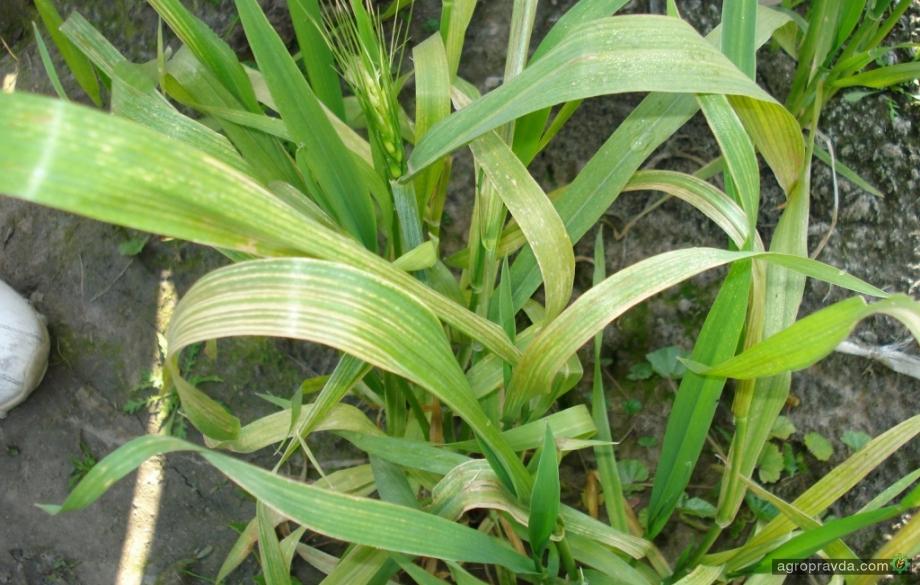 Озимым зерновым необходим марганец