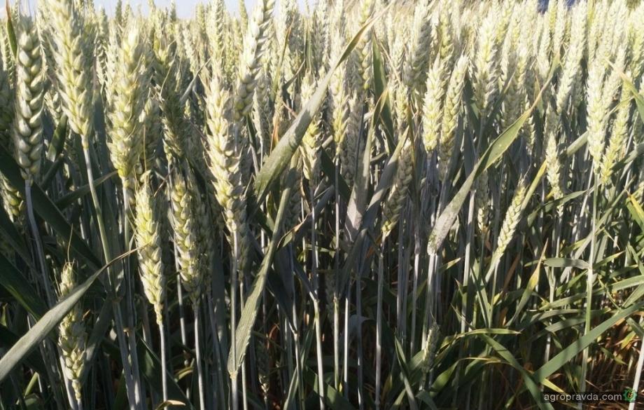 Опыт хозяйства: как показывает себя озимая пшеница по ноу-тилл