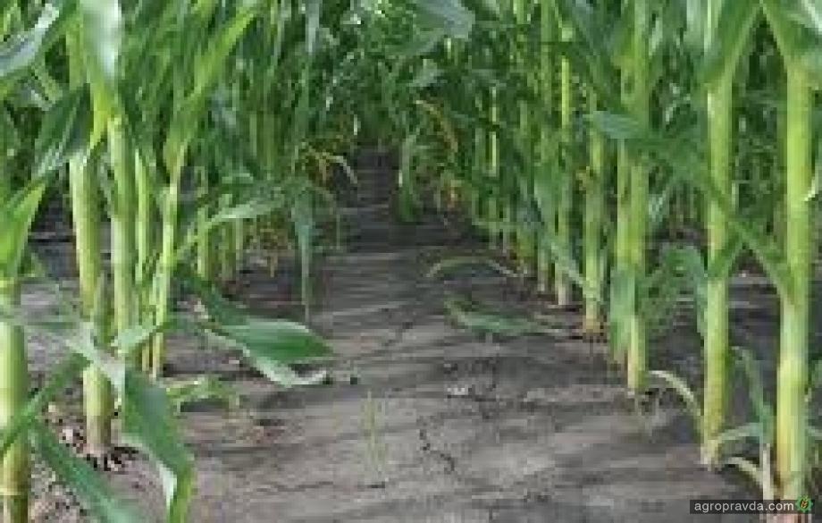 «Сингента» предлагает акцию «Чистая кукуруза»