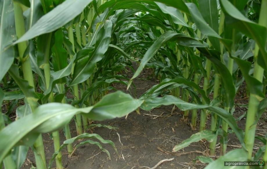 На горизонте - кукурузная совка
