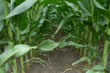 Обзор самых перспективных гербицидов для защиты посевов кукурузы. Часть 1