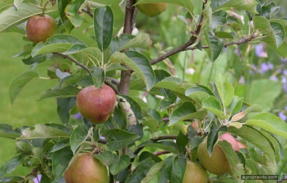 Яблоки подорожали в два раза по сравнению с прошлым годом