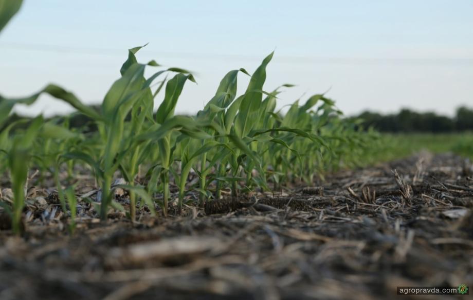 В 2022 году на рынке появятся низкорослые гибриды кукурузы
