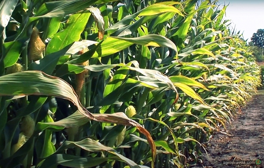 В НААН рассказали какие гибриды кукурузы лучше готовы к экстремальным условиям