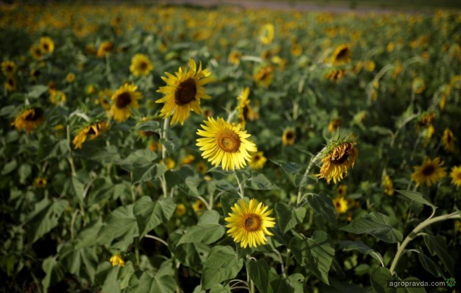 В Украине ожидается рост производства и экспорта подсолнечного масла