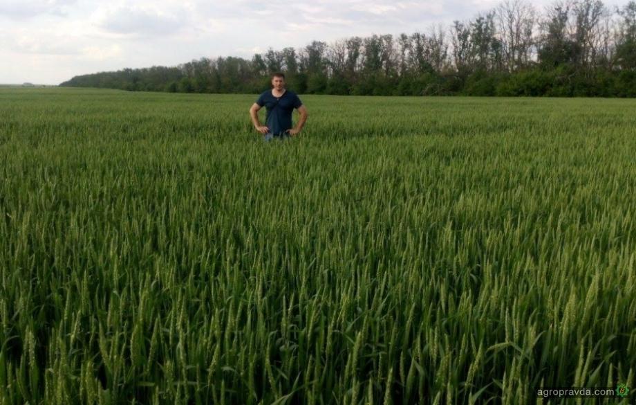 Опыт хозяйств: 60 ц/га пшеницы в донецкой степи