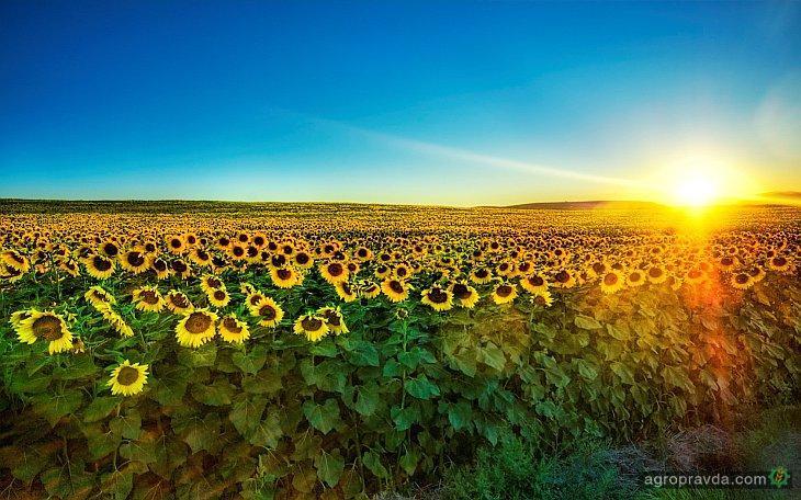 Урожай подсолнечника в Украине может побить рекорд
