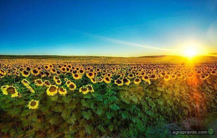 В Украине завершен посев подсолнечника