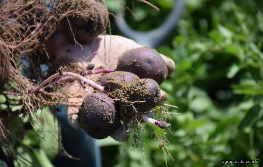 В США вывели сорт картофеля для диабетиков