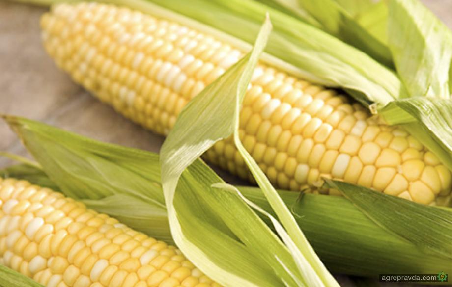 Прогноз урожая украинской кукурузы увеличен на 1 млн. тонн