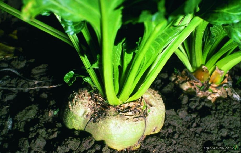 «Сварог Вест Груп» лидирует по урожайности сахарной свеклы