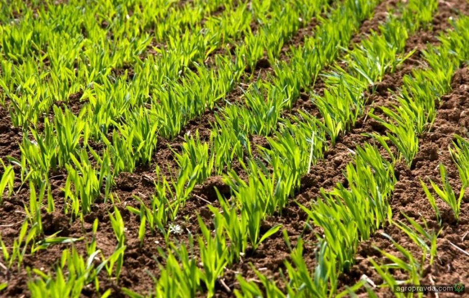 Три этапа эффективного питания озимых зерновых