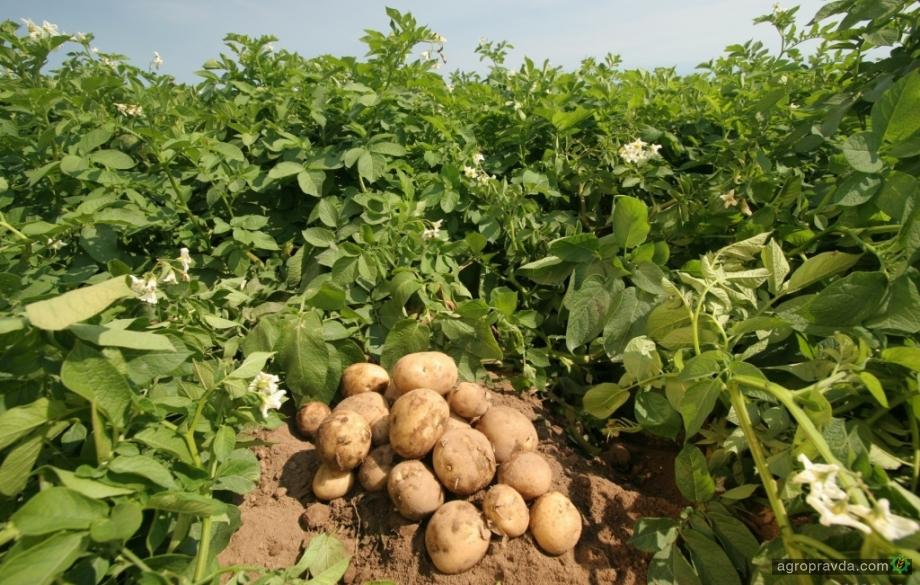 Картофель начал дешеветь