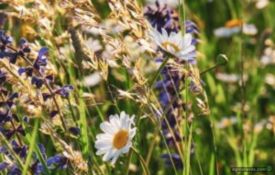 Посевам зерновых в Украине угрожают новые сорняки