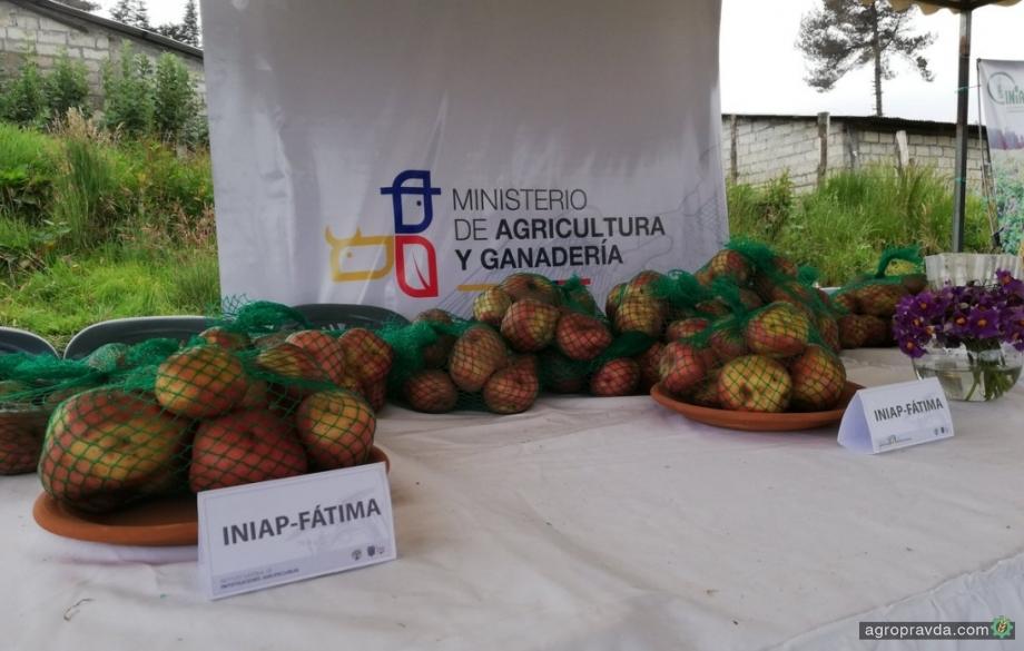 В Эквадоре вывели новый сорт картофеля с коротким циклом вегетации